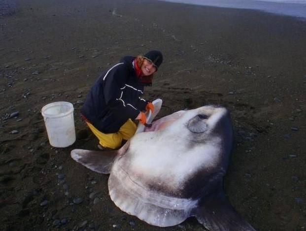 Spesies Ikan Raksasa Seberat Dua Ton Ditemukan